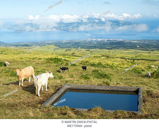 Pasture with cows , view towards Faial island. Pico Island, an island in the Azores (Ilhas dos Acores) in the Atlantic ocean