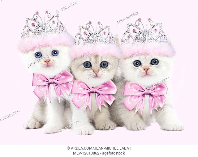 Cat - British kittens wearing pink tiaras Digital manipulation