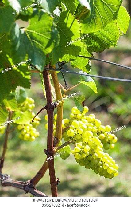 New Zealand, North Island, Auckland, vineyard