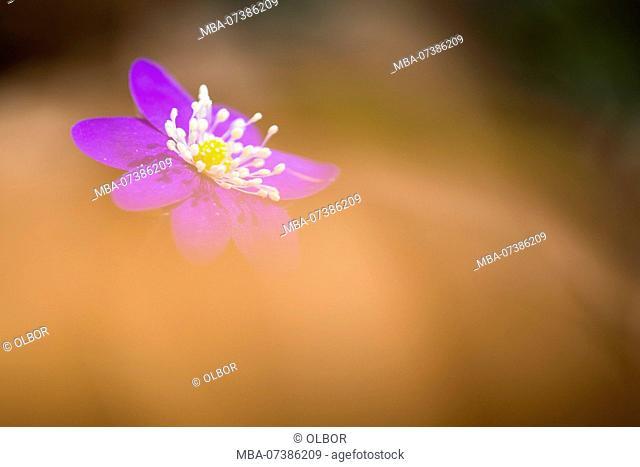 Liverwort, Hepatica nobilis