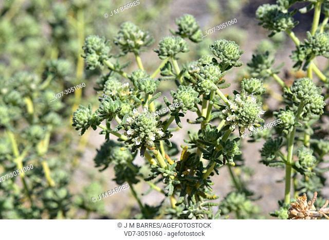 Teucrium lusitanicum clementiae is a subshrub endemic to Cabo de Gata Natural Park, Almeria province, Andalucia, Spain