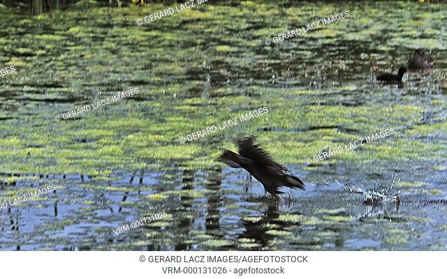 Common Moorhen or European Moorhen, gallinula chloropus, Immature in Flight Taking off, Pond in Normandy, Slow motion