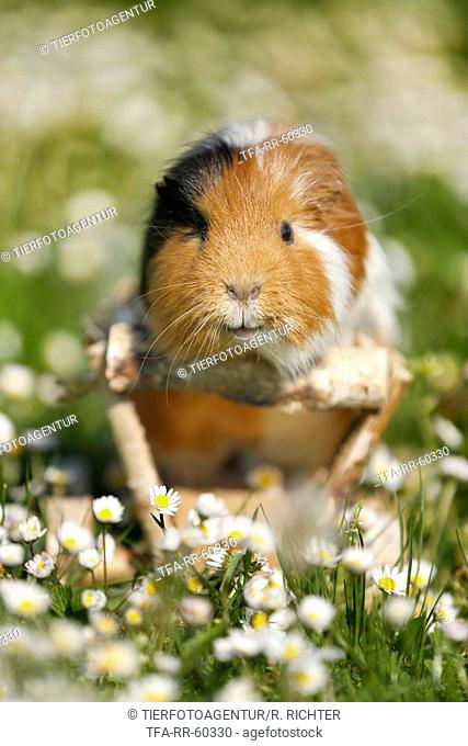 smooth-haired guinea pig