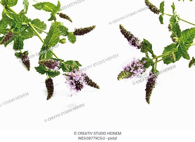 Blooming peppermint Mentha x piperita