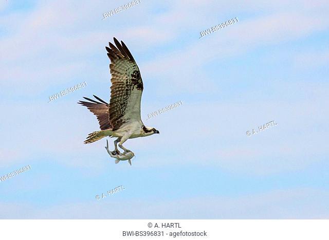 osprey, fish hawk (Pandion haliaetus), flying with caught Hardhead catfish, Ariopsis felis, USA, Florida, Kissimmee