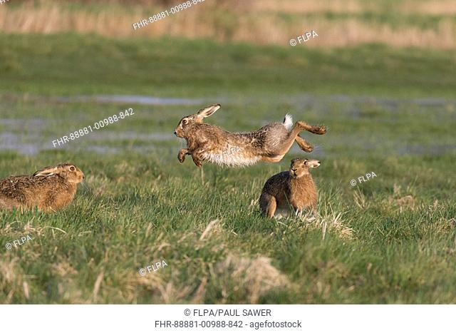 European Hare (Lepus europeaus) 3 adults, rival male jumping to avoid attack from dominant male while female watches on grazing marsh, Suffolk, England, March