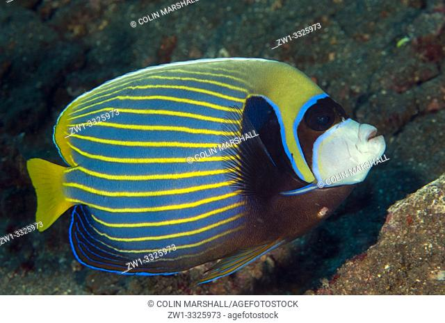 Emperor Angelfish (Pomacanthus imperator, Pomacanthidae family), Pyramids dive site, Amed, Bali, Indonesia