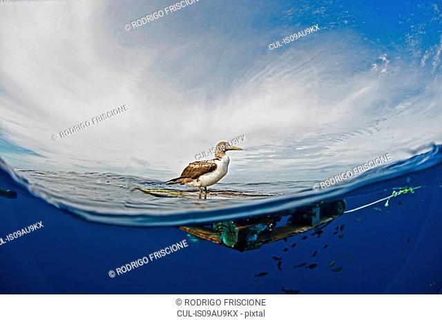 Side view of seabird on driftwood, Magadalena bay, Baja California, Mexico