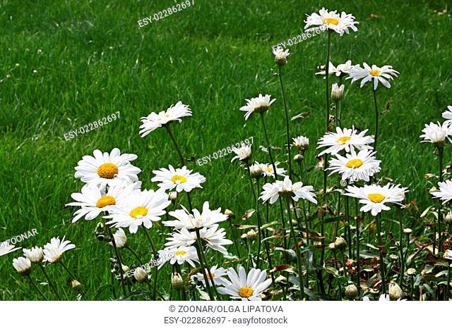 Large white ox-eye daisies (Leucanthemum vulgare)