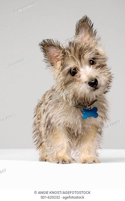 This stock photo shows a female Cairn Terrier dog, full body. It's slightly turned head and direct eye contact make a cute expression