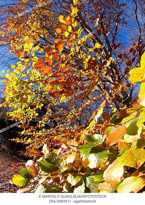Autumn beech tree (Fagus sylvatica). Montseny Natural Park. Barcelona province, Catalonia, Spain