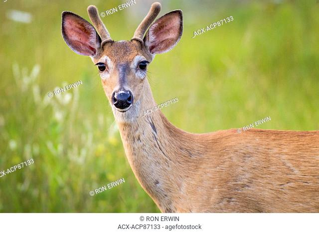 Spotted White-tailed Deer (Odocoileus virginianus) fawn, Manitoulin Island, Ontario, Canada