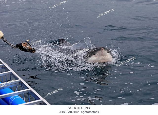 Great White Shark, (Carcharodon carcharias), head, bate, tourism, Simonstown, Western Cape, South Africa, Africa