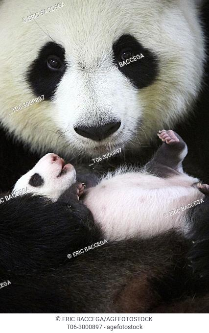 Giant panda (Ailuropoda melanoleuca) female, Huan Huan, holding baby age one month, Beauval Zoo, France