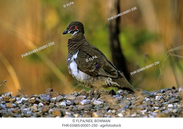 Partridge Pigeon Geophaps smithii Adult on ground - Northern Territory, Australia