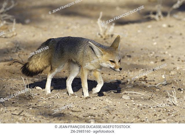 Cape fox (Vulpes chama), adult female walking, evening light, Kgalagadi Transfrontier Park, Northern Cape, South Africa, Africa