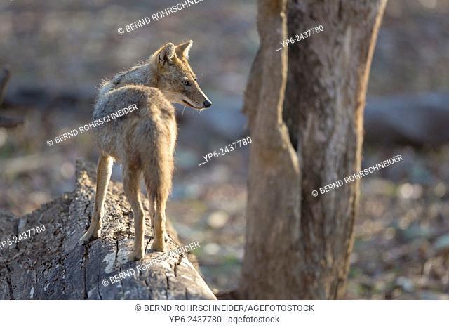 Golden jackal (Canis aureus), Pench National Park, Madhya Pradesh, India