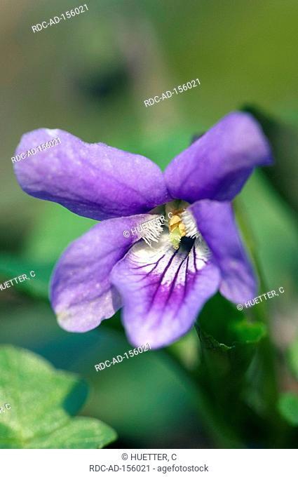 Early Dog Violet North Rhine-Westphalia Germany Viola reichenbachiana Viola silvestris