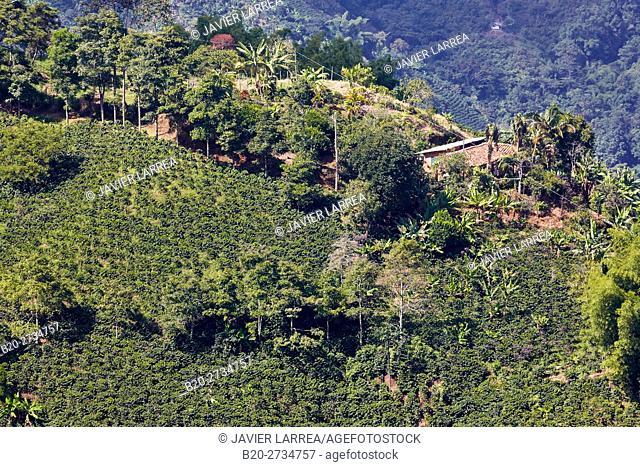 Cafetales, Coffee plantations, Santa Barbara, Antioquia, Colombia, South America