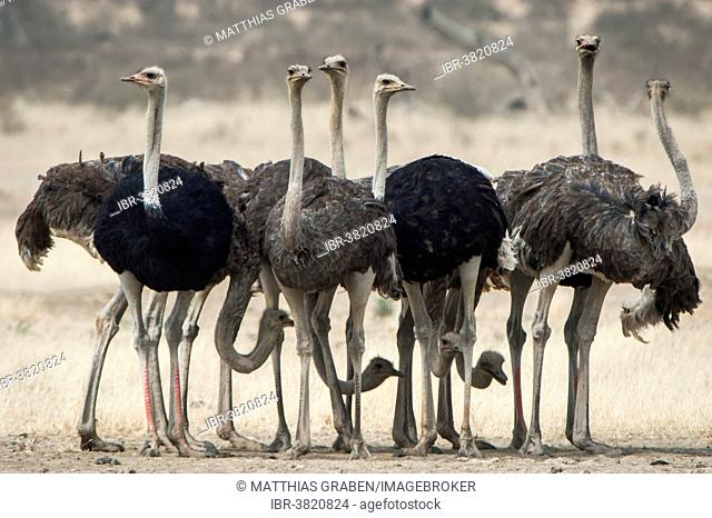 Ostriches (Struthio camelus), Kgalagadi Transfrontier Park, Northern Cape, South Africa