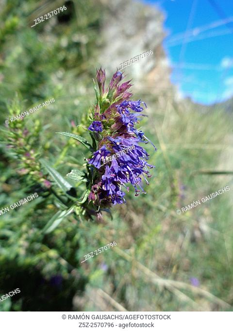 Hisop (Hyssopus officinalis). Catalonia , Spain