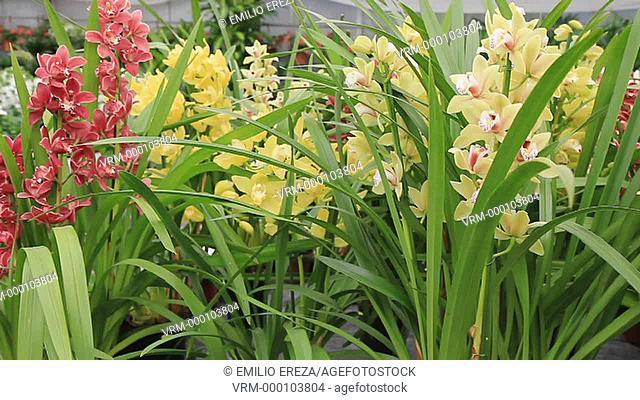Orchids. Cymbidium. Garden Center. Cambrils, Tarragona, Catalonia, Spain