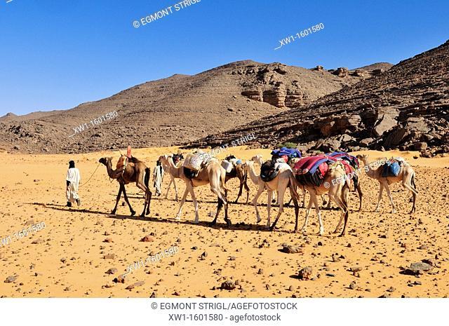 group of camels, caravane at Adrar Tekemberet, Immidir, Algeria, Sahara, North Africa