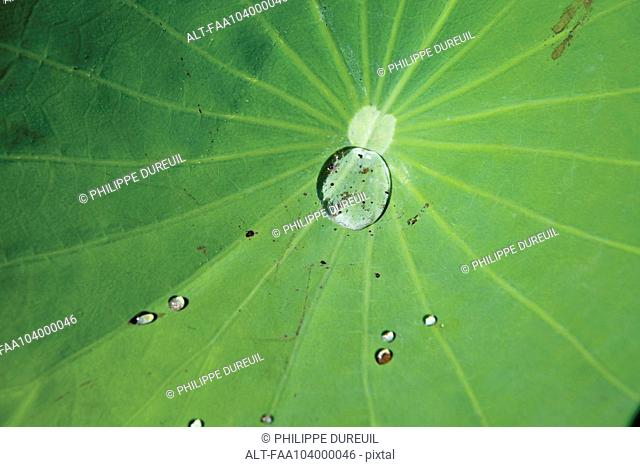 Water drops on lotus leaf