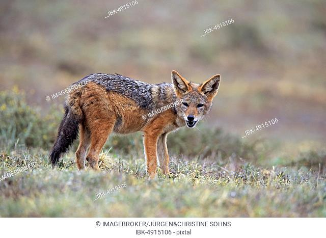 Black-backed Jackal (Canis mesomelas), adult, Addo Elephant National Park, Eastern Cape, South Africa, Africa
