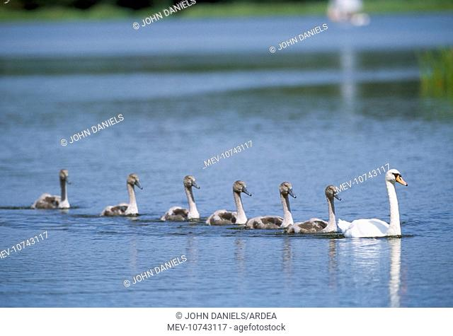 Mute Swan - adult and line of cygnets (Cygnus olor)