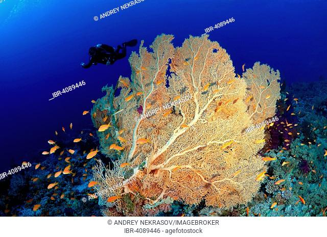 Venus sea fan (Gorgonia flabellum), soft coral, Ras Muhammad National Park, Sinai, Red Sea, Egypt