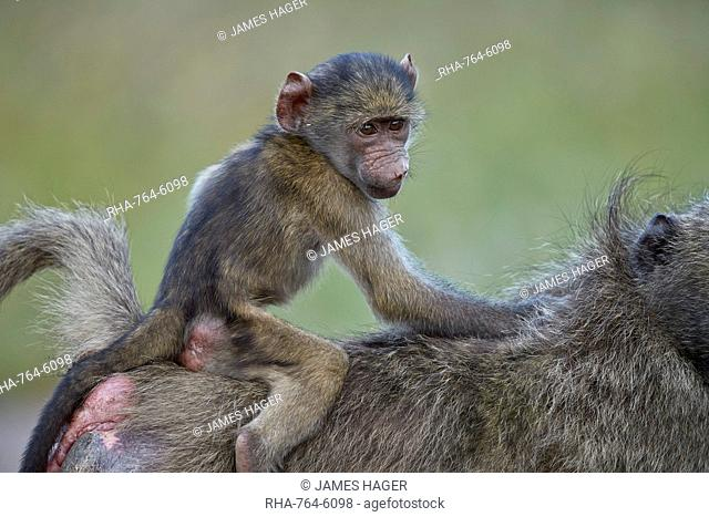 Chacma Baboon (Papio ursinus) infant riding on its mother's back, Kruger National Park, South Africa, Africa