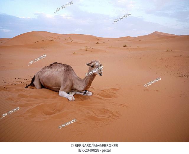 Dromedary or Arabian Camel (Camelus dromedarius), resting in the sand dunes of the Erg Chebbi Desert, near Merzouga, Morocco, North Africa, Africa