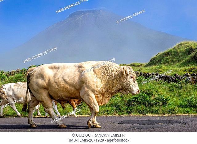 Portugal, Azores archipelago, Pico island, along the road 3 at the bottom of Pico volcano (alt : 2351m)