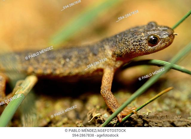 Spanish Ribbed newt (Pleurodeles waltl) in Valdemanco, Madrid, Spain