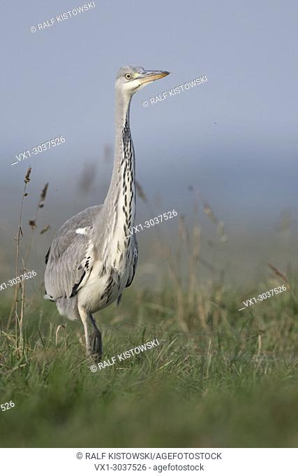 Grey Heron ( Ardea cinerea ), slowly walking through high grass of a pasture, watching around attentively, frontal view, wildlife, Europe