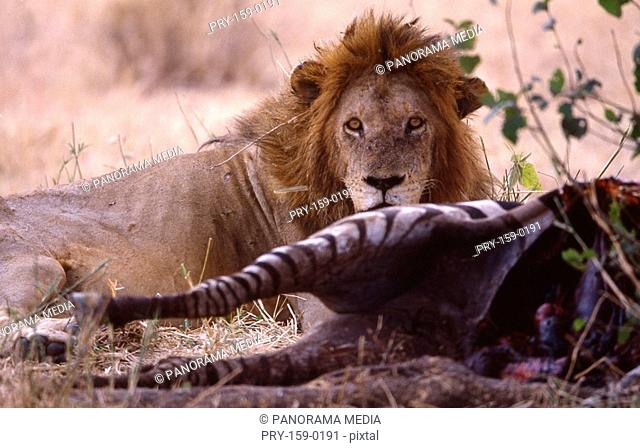 Close up of lion eating zebra