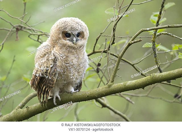 Tawny Owl (Strix aluco), baby owl, owlet, young chick, perched on a branch, its dark brown eyes wide open, looks cute, wildlife, Germany, Europe