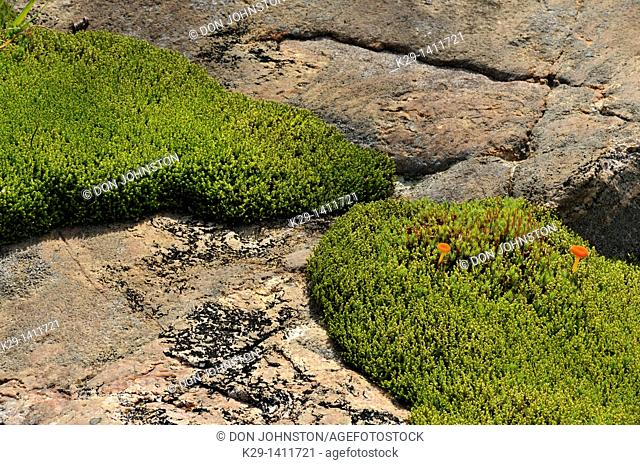 Pohlia moss colonies on granite outcrops with two small orange mushrooms