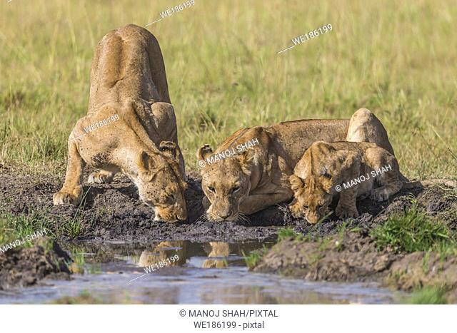 Lions drinking from a water pool in Masai Mara National Reserve, Kenya