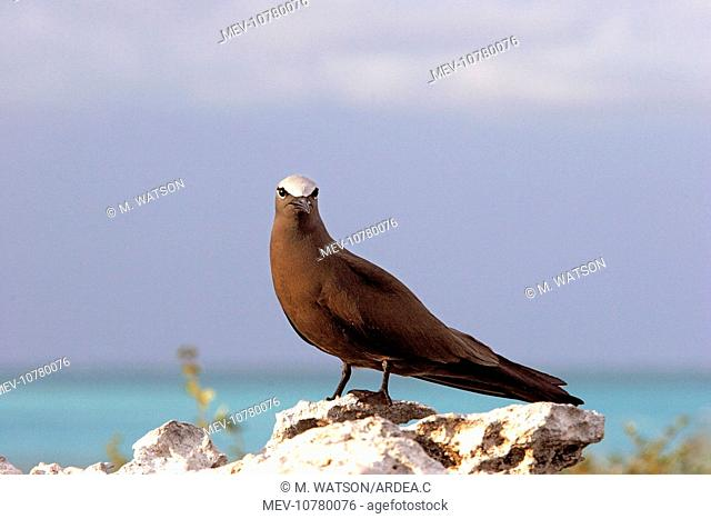 Brown / Common Booby (Anous stolidus )