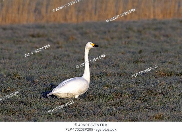 Tundra swan (Cygnus columbianus) / Bewick's swan (Cygnus bewickii) foraging in meadow