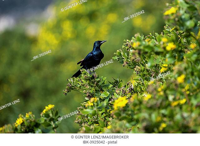 Red-winged Starling (Onychognathus morio), Fynbos, Western Cape, South Africa