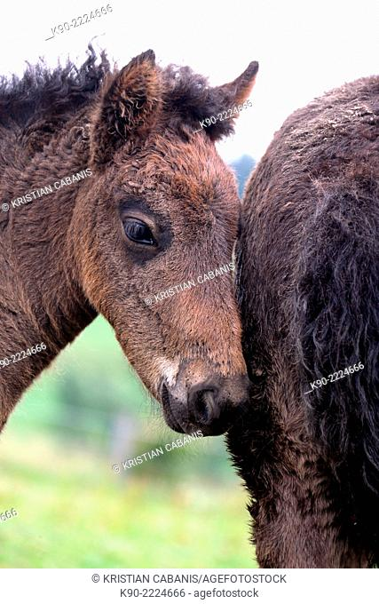 Male Icelandic horse foal leaning his head at another foal, Bergneustadt, North Rhine-Westphalia, Germany, Europe