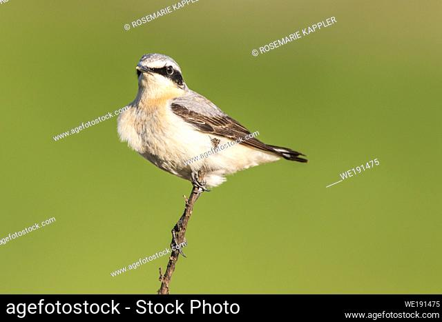 A common wheatear is searching for fodder