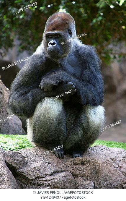 Gorilla in Lorro Park, Tenerife, Canary Islands, Spain, Atlantic, Europe