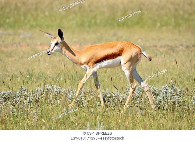 Springbok in the Etosha National Park 3