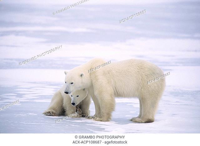 Polar bear and cub, Ursus maritimus, near Churchill, Manitoba, Canada