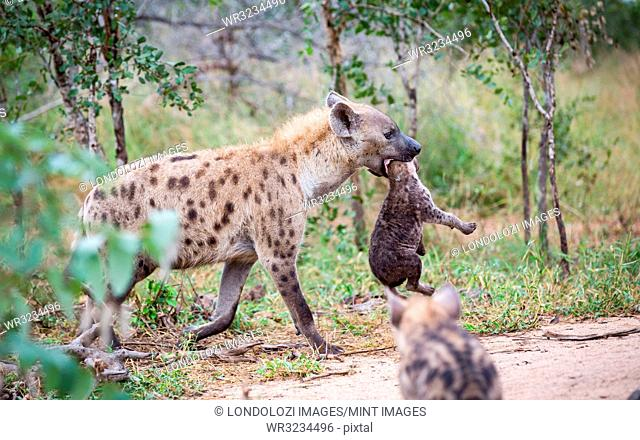 A spotted hyena mother, Crocuta crocuta, carries her cub in her mouth by its neck, looking away, cub in the foreground