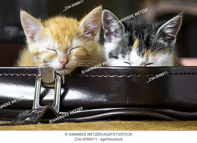 Cute kittens chilling in a suitcase